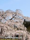 2013春賞櫻8日行***DAY3 醍醐寺→金閣寺→平野神社:1541713130.jpg