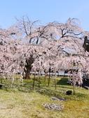 2013春賞櫻8日行***DAY3 醍醐寺→金閣寺→平野神社:1541713131.jpg