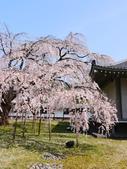 2013春賞櫻8日行***DAY3 醍醐寺→金閣寺→平野神社:1541713132.jpg