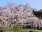 2013春賞櫻8日行***DAY3 醍醐寺→金閣寺→平野神社:1541713134.jpg