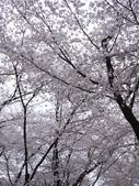 2013春賞櫻8日行***DAY3 醍醐寺→金閣寺→平野神社:1541713163.jpg
