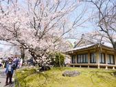 2013春賞櫻8日行***DAY3 醍醐寺→金閣寺→平野神社:1541713118.jpg