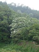 桐花之旅:10.0418-藤山園油桐賞-7.JPG