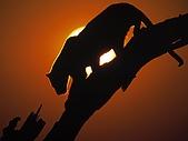 BART相簿:African Sunset, Leopard.jpg