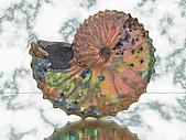 BART相簿:Ammonite.jpg