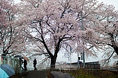 日本-仙台-櫻花:DSC_3868-1.jpg