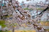 日本-仙台-櫻花:DSC_3869-2.jpg