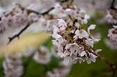 日本-仙台-櫻花:DSC_3874-7.jpg