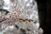 日本-仙台-櫻花:DSC_3875-8.jpg