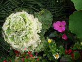 苗栗-山形玫瑰:84.jpg