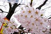 日本-仙台-櫻花:R0017502-1.jpg