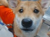 口愛的喵狗:據說是全世界最小的柴犬,老闆娘還騙我拍一次50塊 一_一