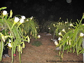 火龍果寫真:夜間開花的火龍果花