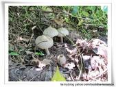 雷公菇:雷公菇