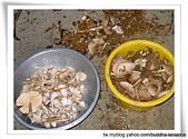 雷公菇:今早(7-11)採到的雷公菇