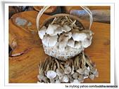 雷公菇:野生的雷公菇(雞肉絲菇)