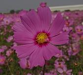 高縣大寮花季〔2010.11.27〕:DSC03385.JPG