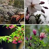 2013.03.14;重訪阿里山樱花行:相簿封面