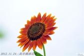 2012.11.24;;高市橋頭花祭:DSC_3894.jpg