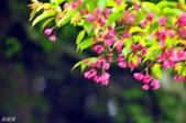 2013.03.14;重訪阿里山樱花行:DSC_2466.JPG