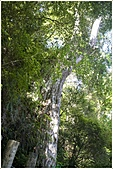 2010-07-04 拉拉山二日遊---拉拉山神木群:拉拉神木群-02號-2.jpg