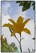 2010-05-01 新社---金針花海:新社金針花海000.jpg
