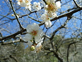 2010-01-17 烏松崙賞梅:DSCF5054.JPG