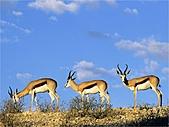 驚艷的非洲:羚羊,卡拉哈里沙漠,博茨瓦納