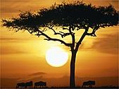 驚艷的非洲:日出的牛羚,肯亞