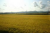 日本函館東北賞楓(三):出隧道的兩邊皆是金黃色的稻米