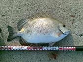 釣魚:3斤8 星點臭肚