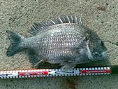 釣魚:2斤 黑鯛
