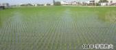 2019農作物:2019一期稻作2.jpg