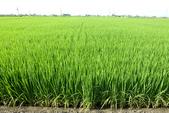 日誌用相簿(1):水稻P1010874-1.jpg