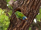 五色鳥又來了 !:IMG_0035.JPG