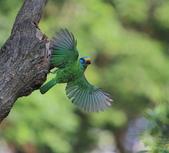 五色鳥生態記錄!102.06.19.:DPP_0033.JPG