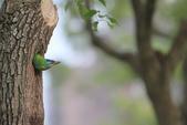 五色鳥在大安!:DPP_0013.JPG