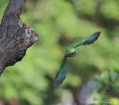 五色鳥生態記錄!102.06.19.:DPP_0034.JPG