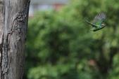 五色鳥生態: