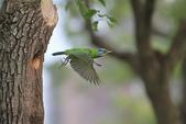 五色鳥在大安!:DPP_0014.JPG