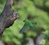 五色鳥生態記錄!102.06.19.:DPP_0036.JPG