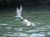 大溪漁港拍燕鷗!:DPP_0017.JPG