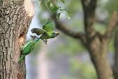 五色鳥在大安!:DPP_0015.JPG