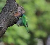 五色鳥生態記錄!102.06.19.:DPP_0037.JPG