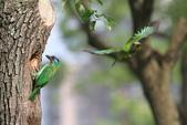 五色鳥在大安!:DPP_0016.JPG