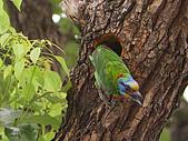 五色鳥又來了 !:IMG_0022.JPG