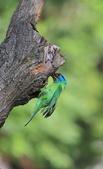 五色鳥生態記錄!102.06.19.:DPP_0038.JPG