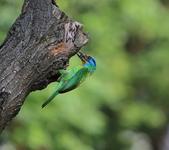 五色鳥生態記錄!102.06.19.:DPP_0039.JPG