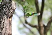 五色鳥在大安!:DPP_0018.JPG