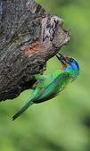 五色鳥生態記錄!102.06.19.:DPP_0040.JPG